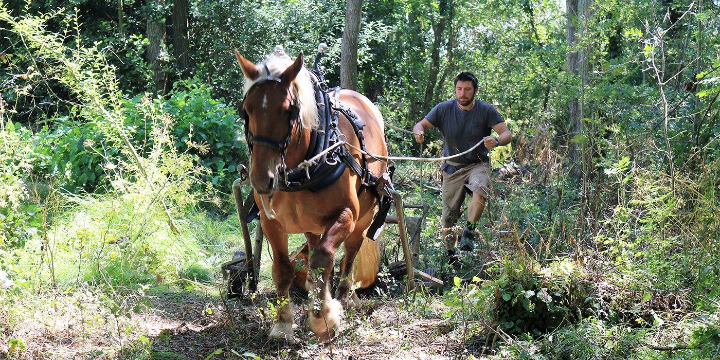 New Forest Working woodlands the traditional way using Comtois horses to extract timber.